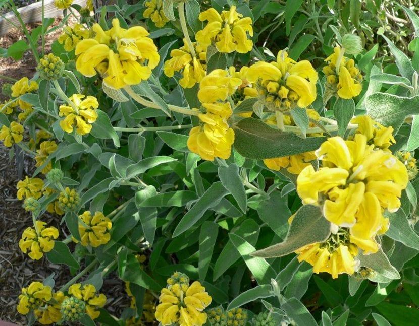 Vista de la planta y flores de la Phlomis fruticosa