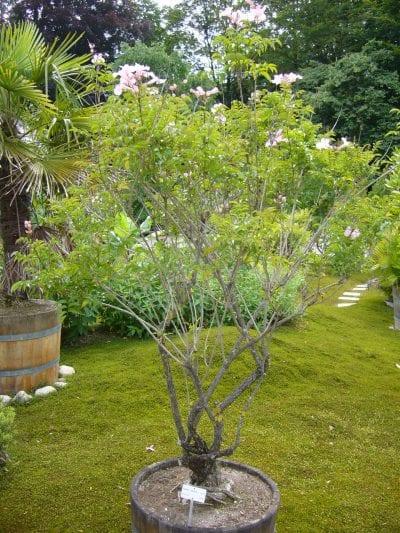 Planta de la Podranea ricasoliana