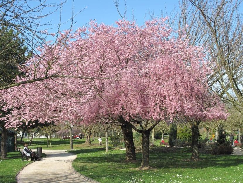 Ejemplar de Prunus florecido