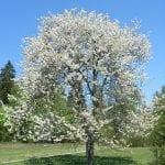 Un precioso árbol de Prunus avium en flor