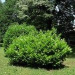 Ejemplares de Prunus laurocerasus en jardín