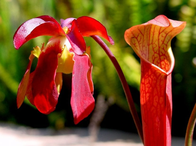 Ejemplar de Sarracenia rubra