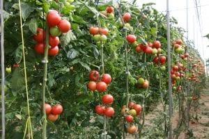 Cultivo de tomate en ramo