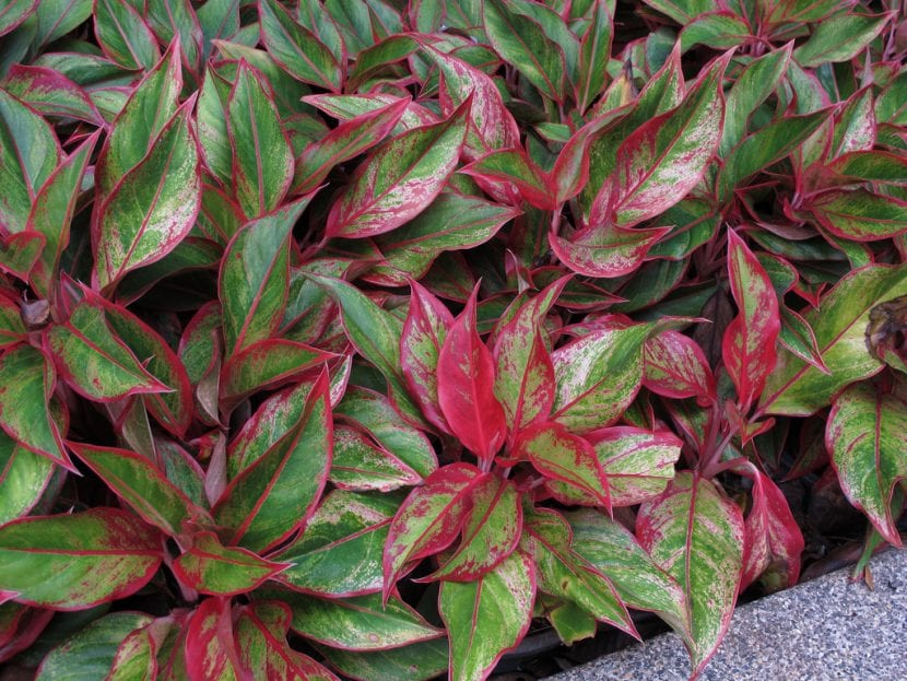 Ejemplares de Aglaonema red