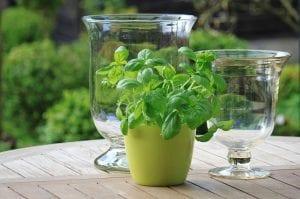 La albahaca es una planta que se puede cultivar en maceta