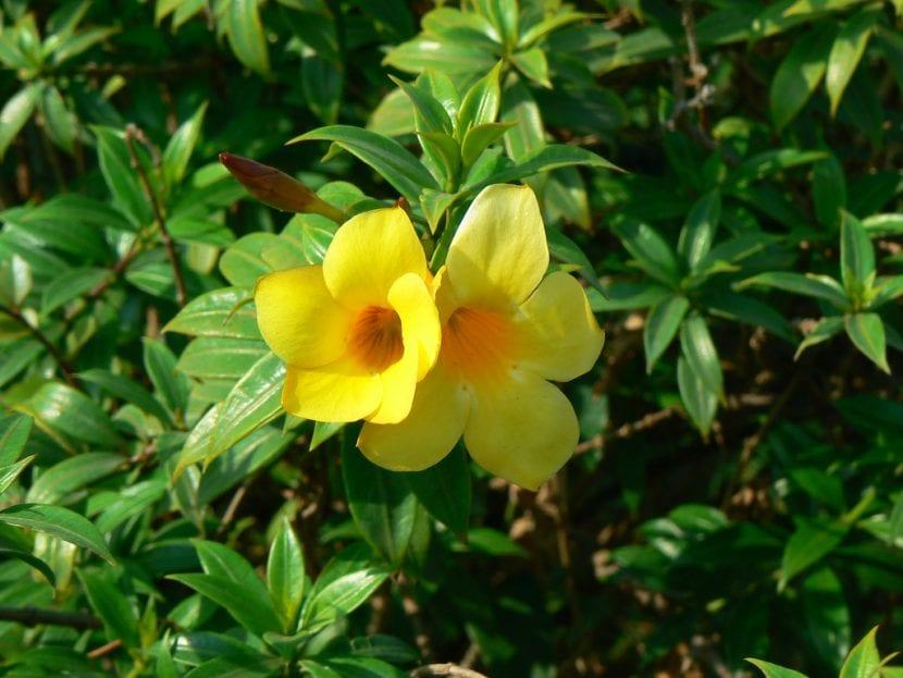 Planta de Allamanda en flor