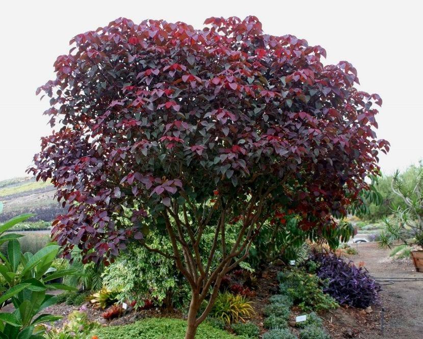Árbol de Euphorbia cotinifolia