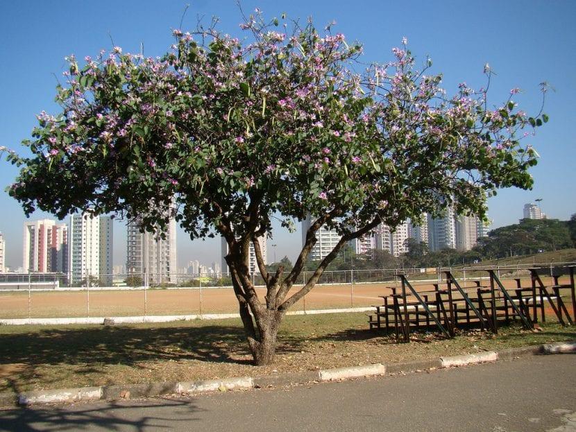 Árbol de Bauhinia adulto