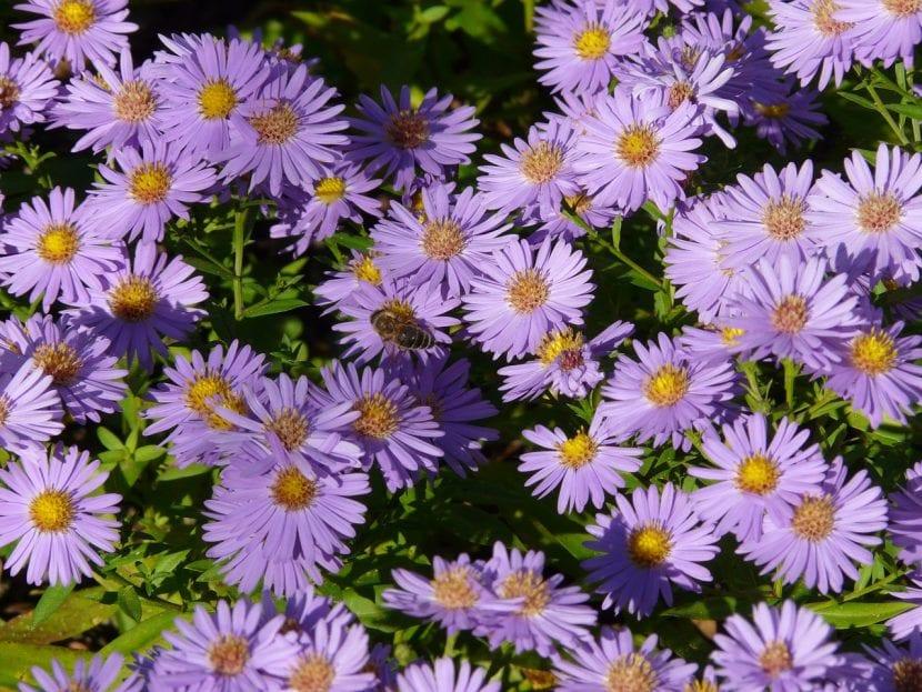 Planta de Aster en flor