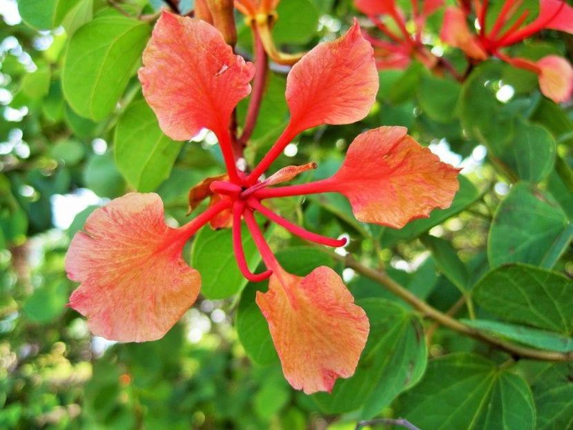Flor de la Bauhinia galpinii