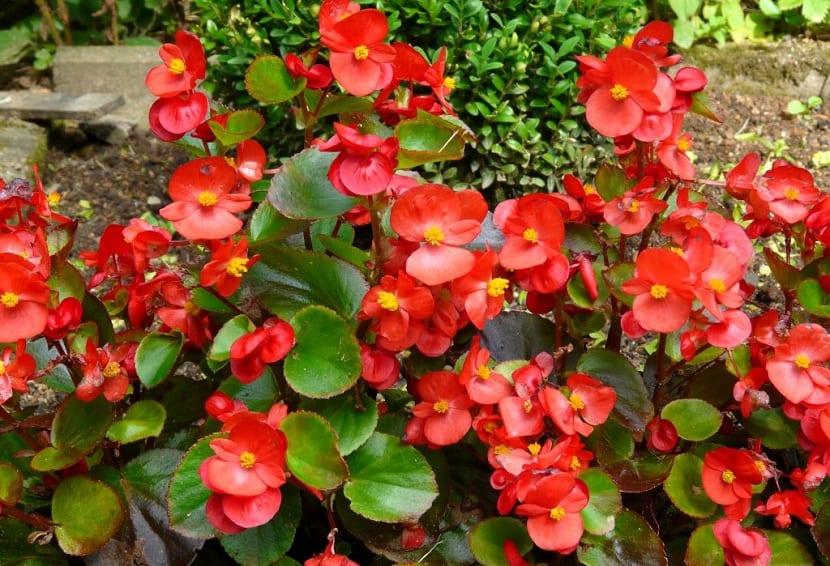 A esta planta también se le llama flor de azúcar.