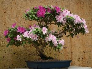 La azalea se puede trabajar como bonsái