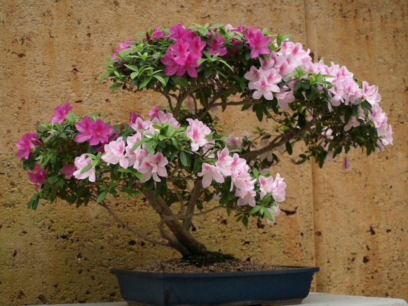 Bonsái de Azalea en flor