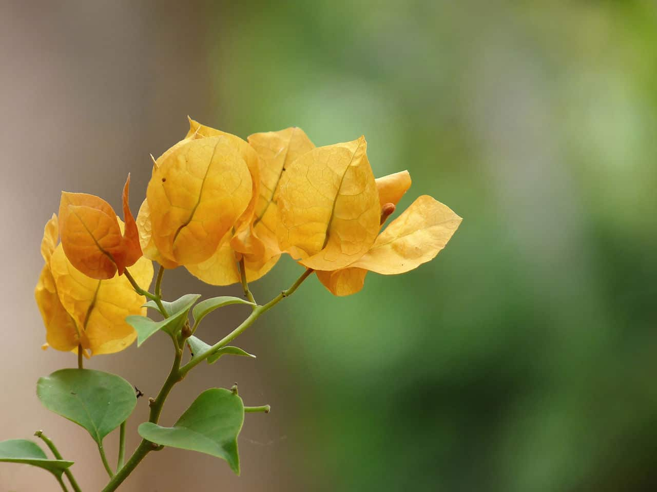 La buganvilla amarilla es una planta trepadora