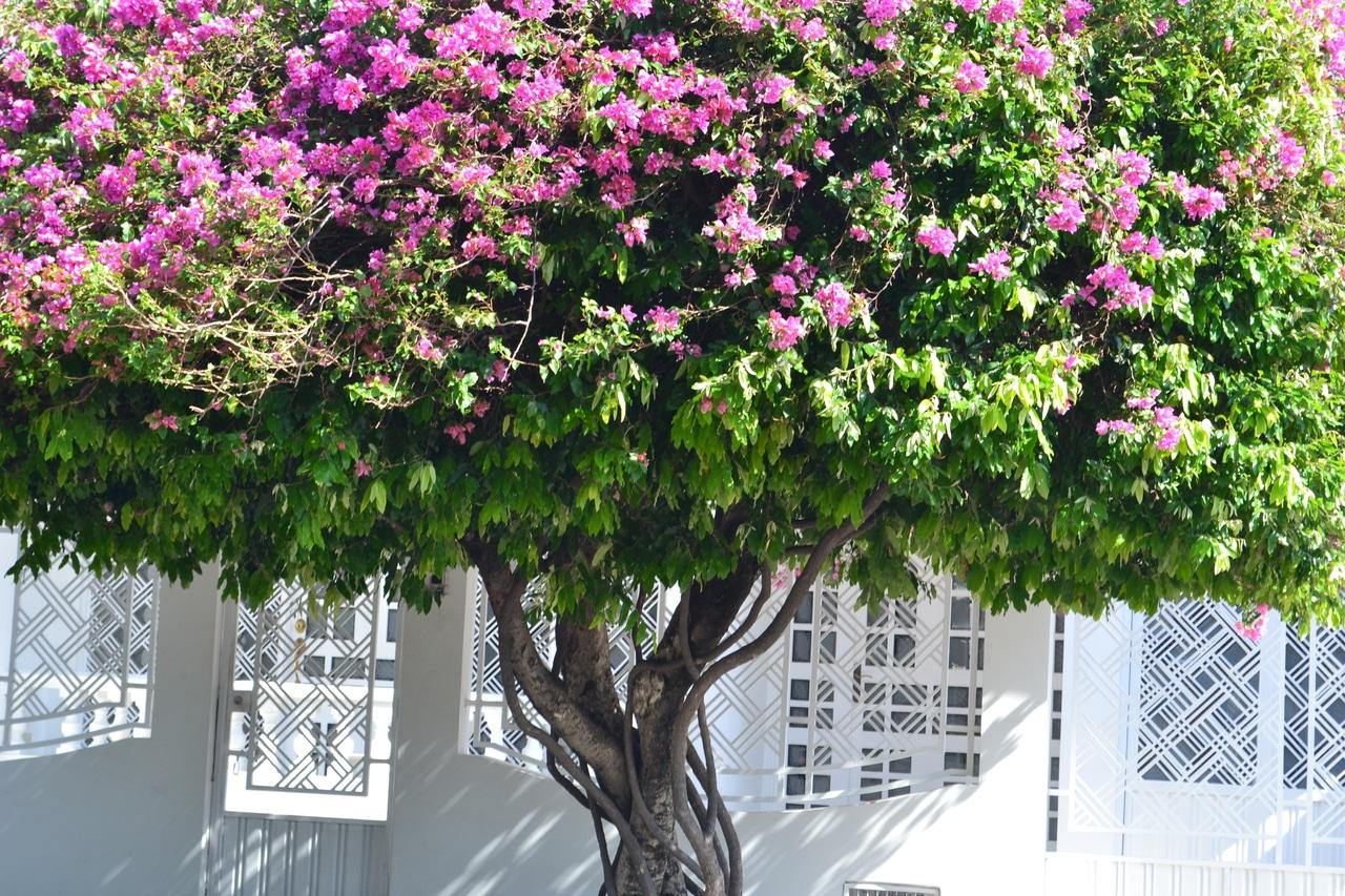 La buganvilla se puede formar como árbol