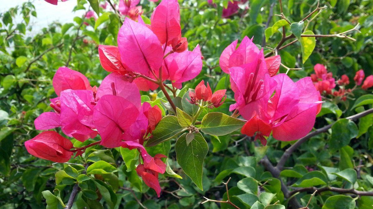 La buganvilla es una planta que se comporta como caduca en climas templados