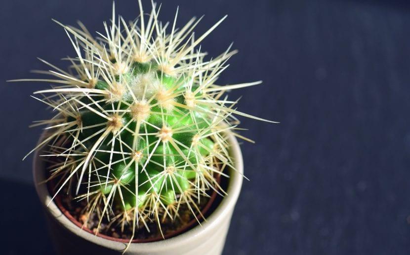 Echinocactus grussonii en maceta