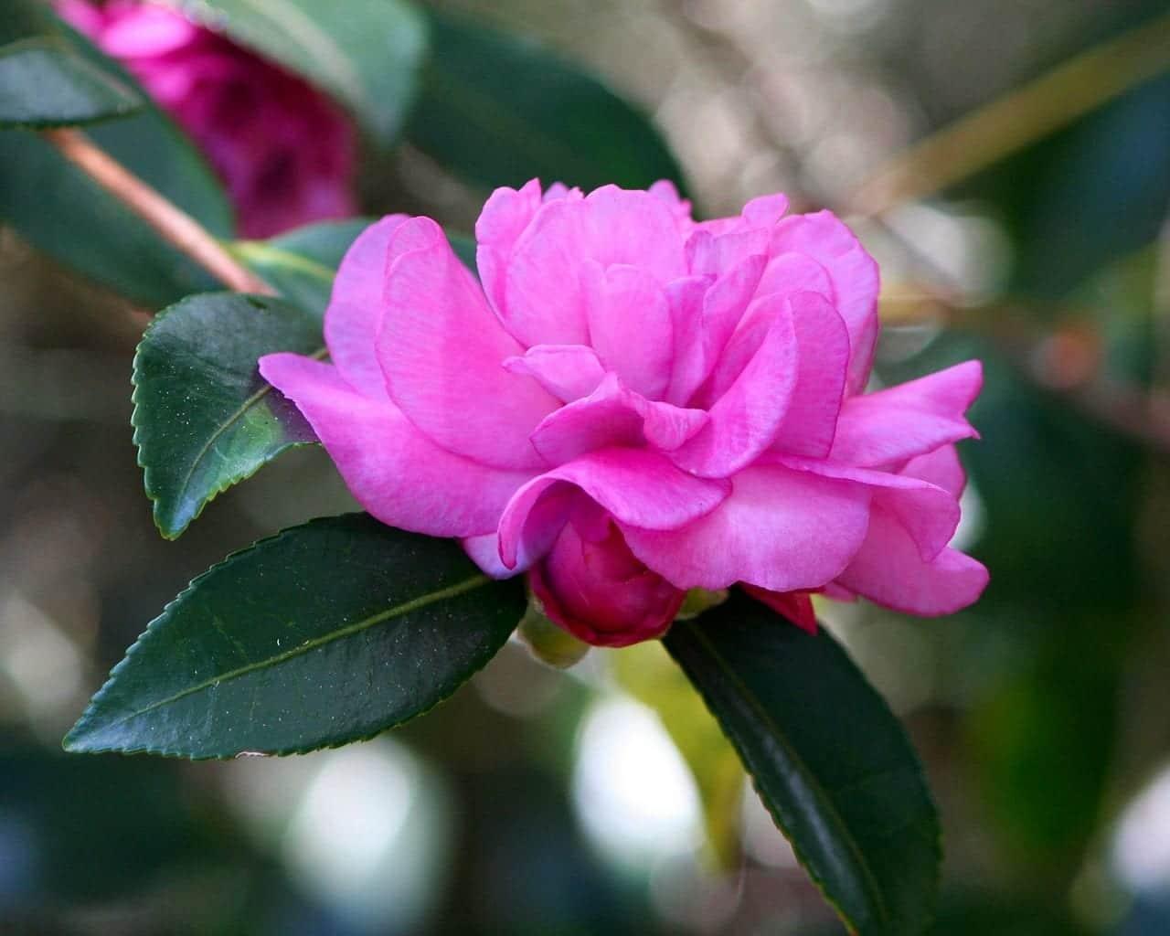 Camelia de flor rosa, una planta para suelos ácidos
