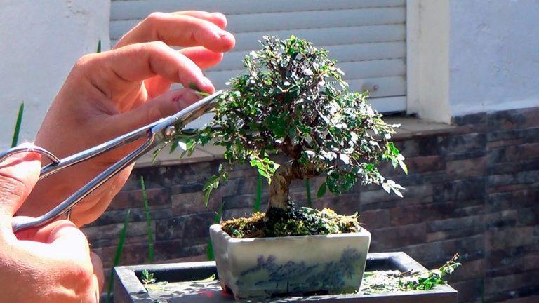 El pinzamiento se hace a lo largo de todo el año al bonsai
