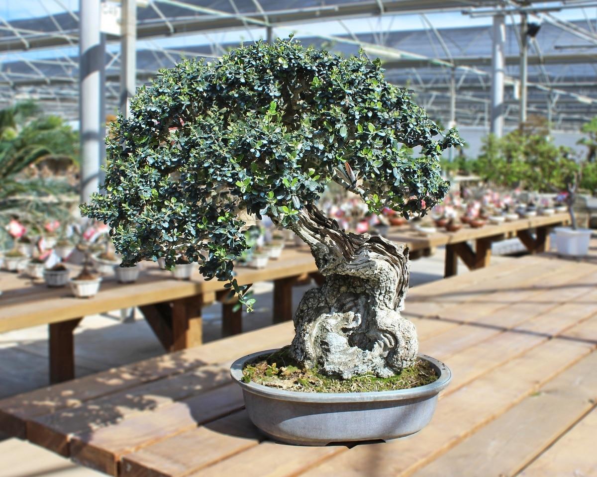 Puedes podar al bonsai con tijeras
