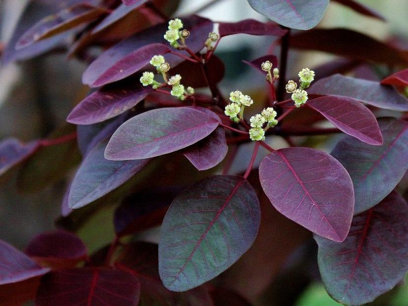Hojas y flores de la Euphorbia cotinifolia