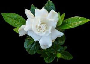 La gardenia es un arbusto tropical