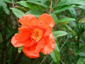 Las flores del granado brotan en primavera