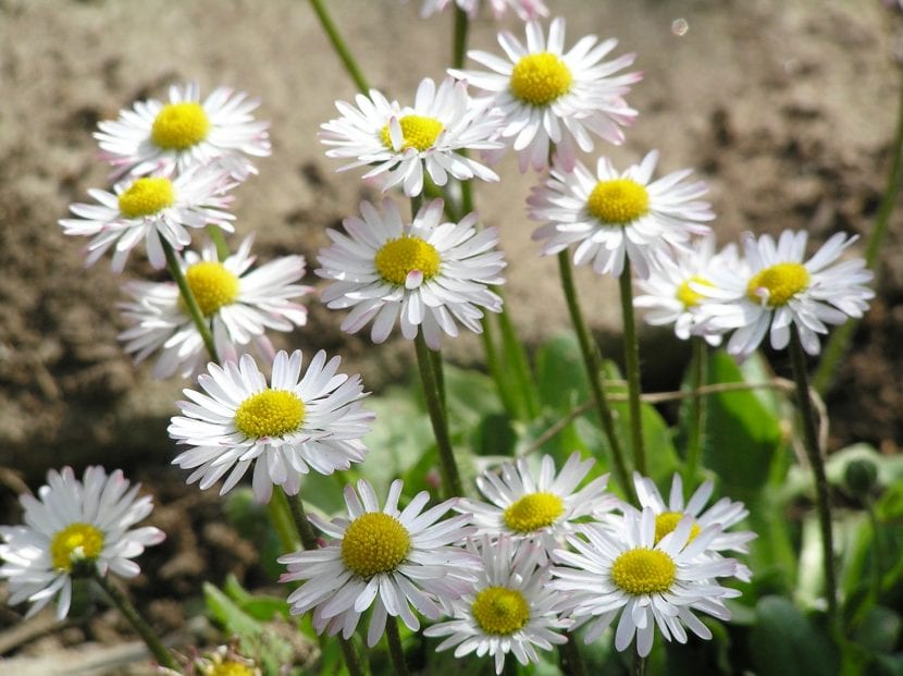 Flores de margaritas blancas