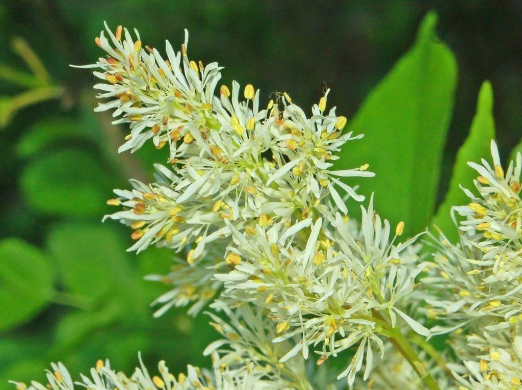 Flores de Fraxinus ornus