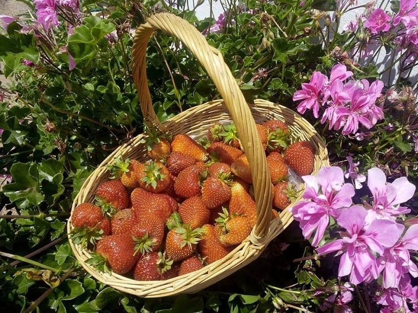 las fresas se pueden cultivar en verano
