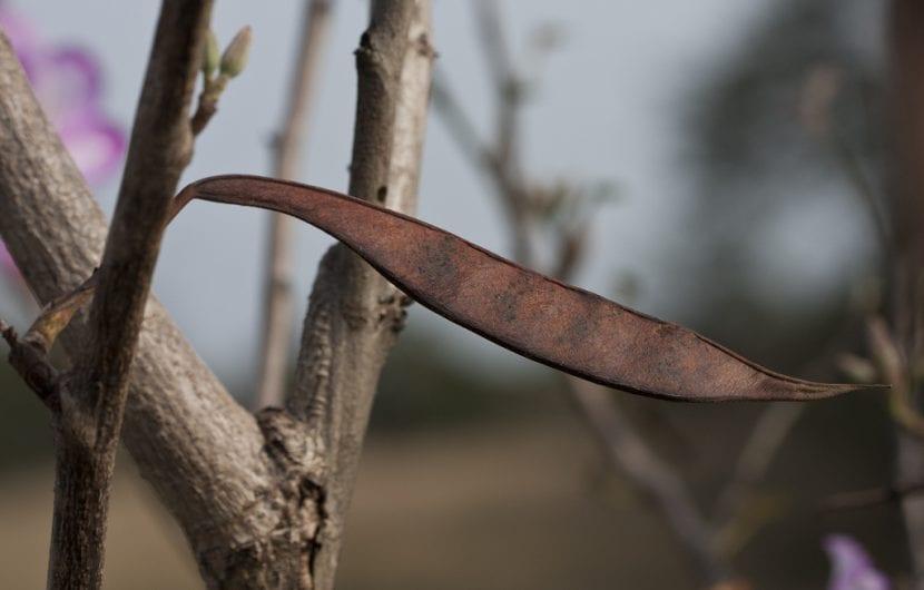 Fruto seco del árbol de Bauhinia o Pata de camello