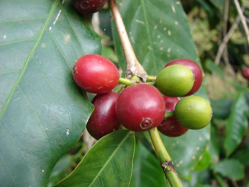 Frutos de la planta del café o Coffea arabica
