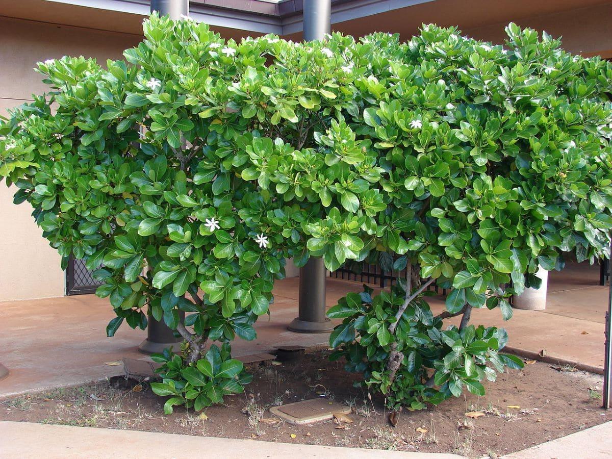 La gardenia se planta en suelos ácidos