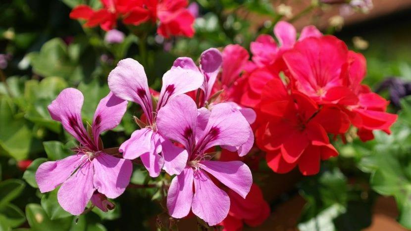 Grupo de geranios en flor