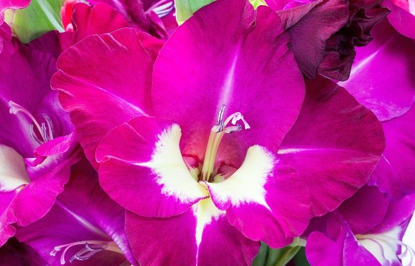 plantas bulbosas con grandes flores y bastante decorativas.