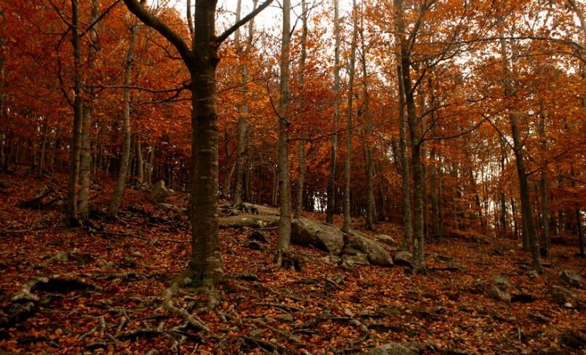 las hayas son árboles caducifolios