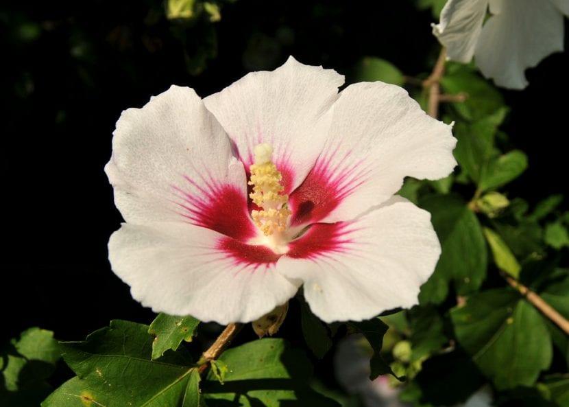 Flor del Hibiscus syriacus