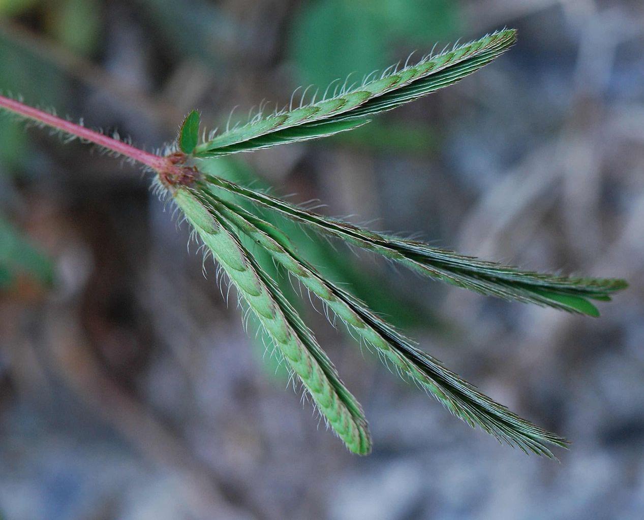 Hojas cerradas de Mimosa pudica