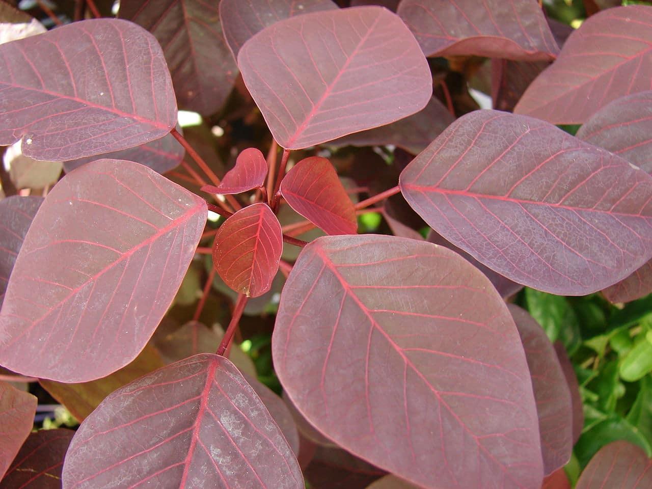 Las hojas del lechero rojo son de tamaño medio