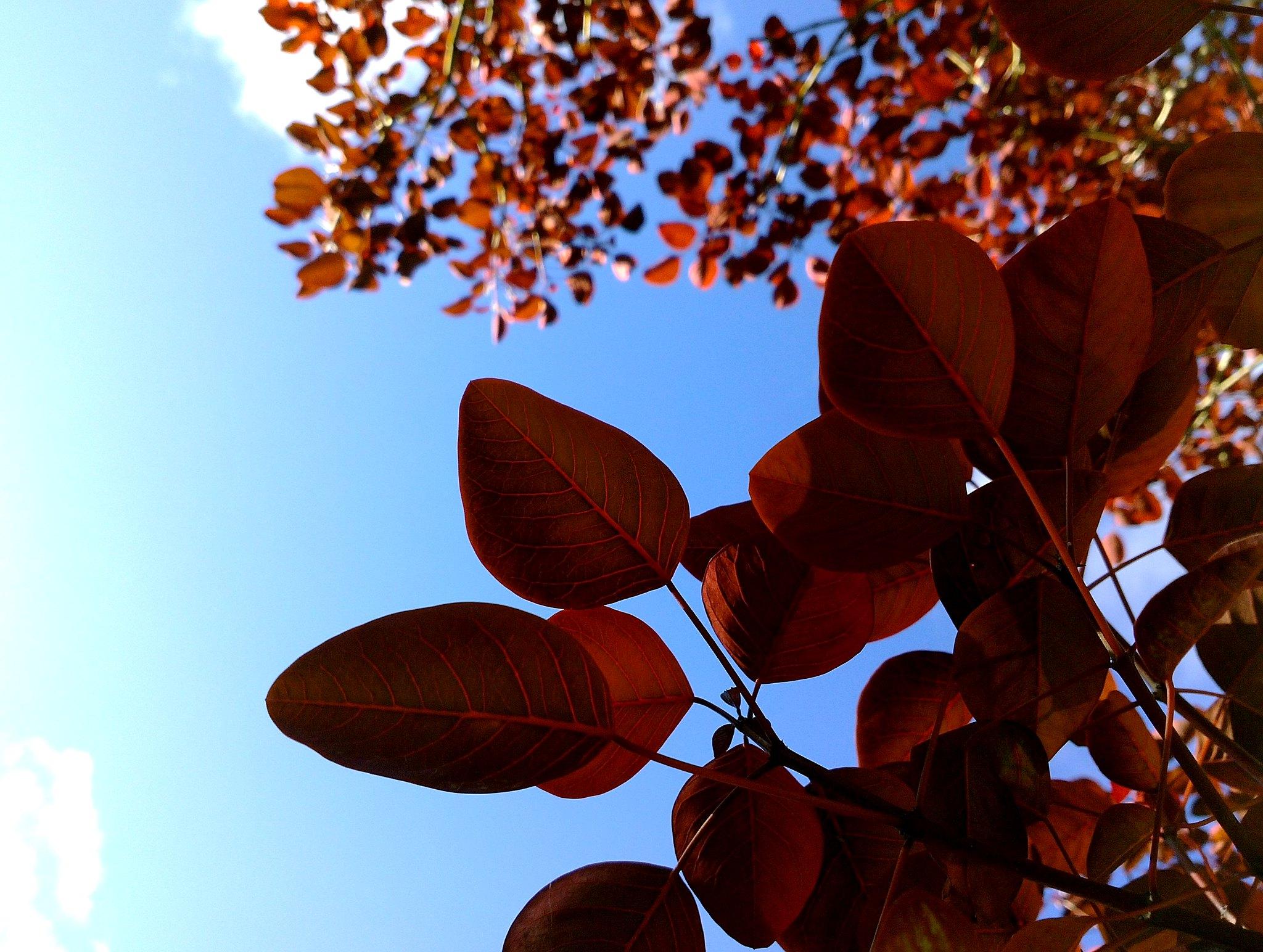 Las hojas del lechero rojo son rojizas/marrones
