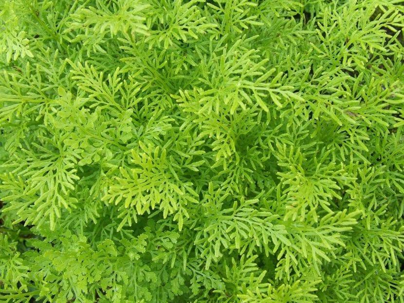 Vista en detalle de las hojas o frondes de un helecho