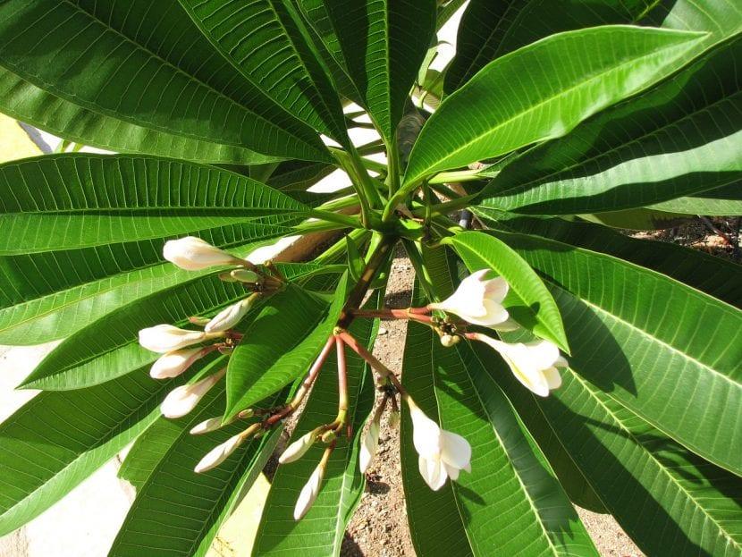 Hojas y capullos florales de la Plumeria o Frangipani