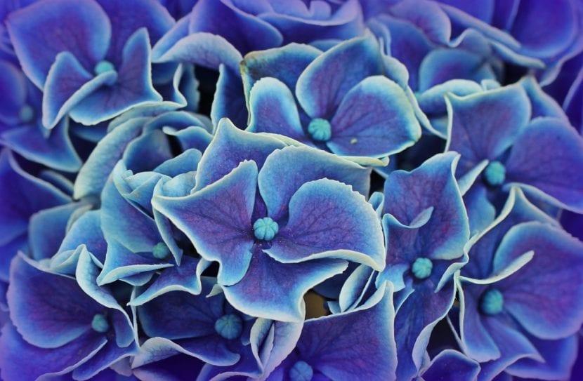 Flores azules de hortensia