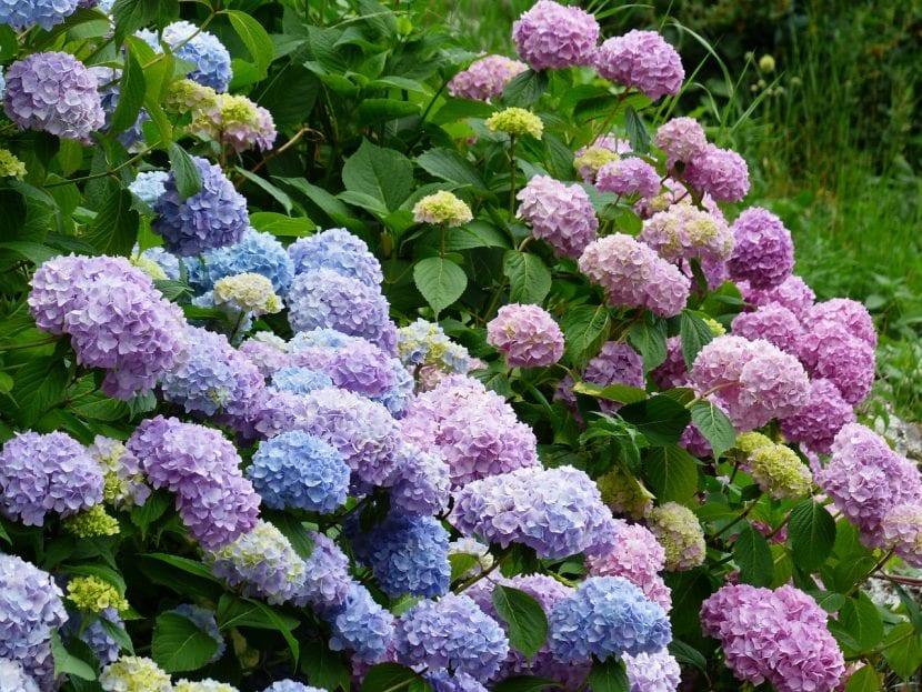 Hortensias, plantas acidófilas muy queridas