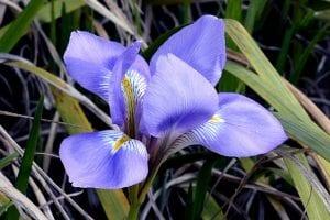 Flor de Iris de color azul