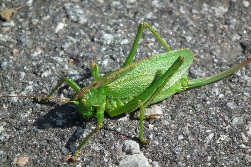 Langosta verde