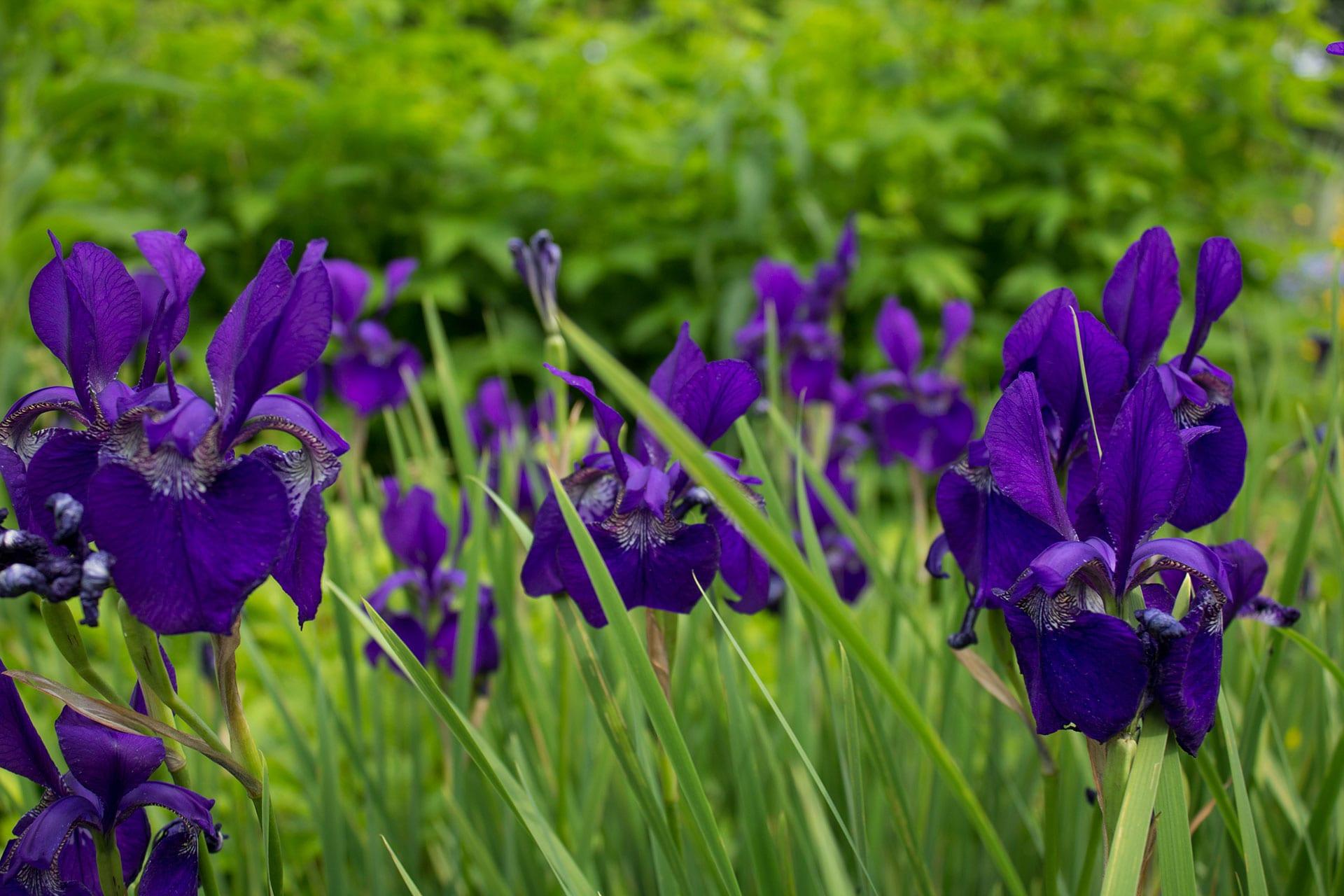 Lirios lilas en un jardín