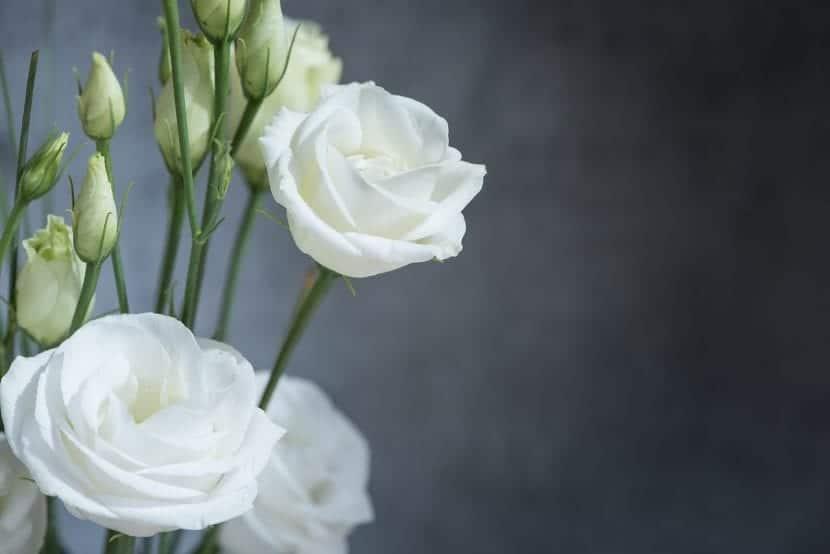 Lisianthus de flores blancas