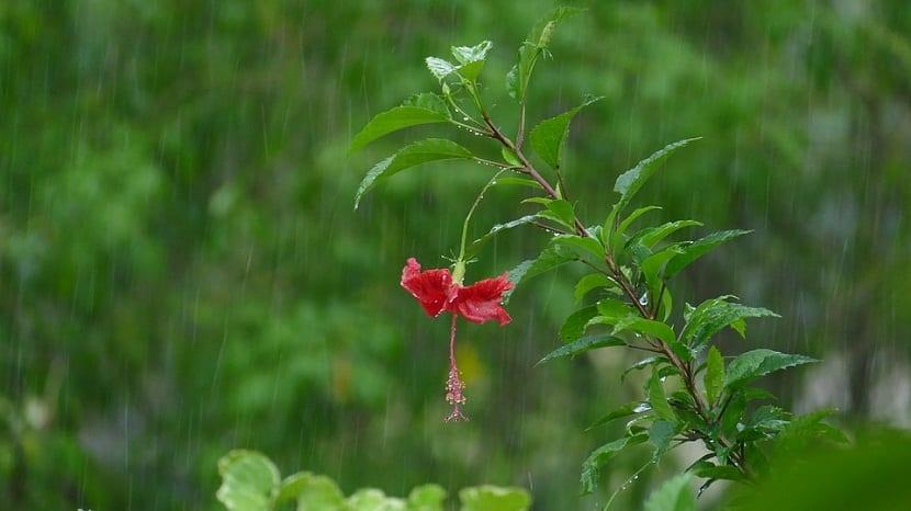 Como podemos cultivar hibisco