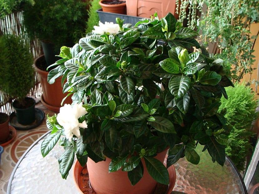sulfato de hierro para plantas en macetas